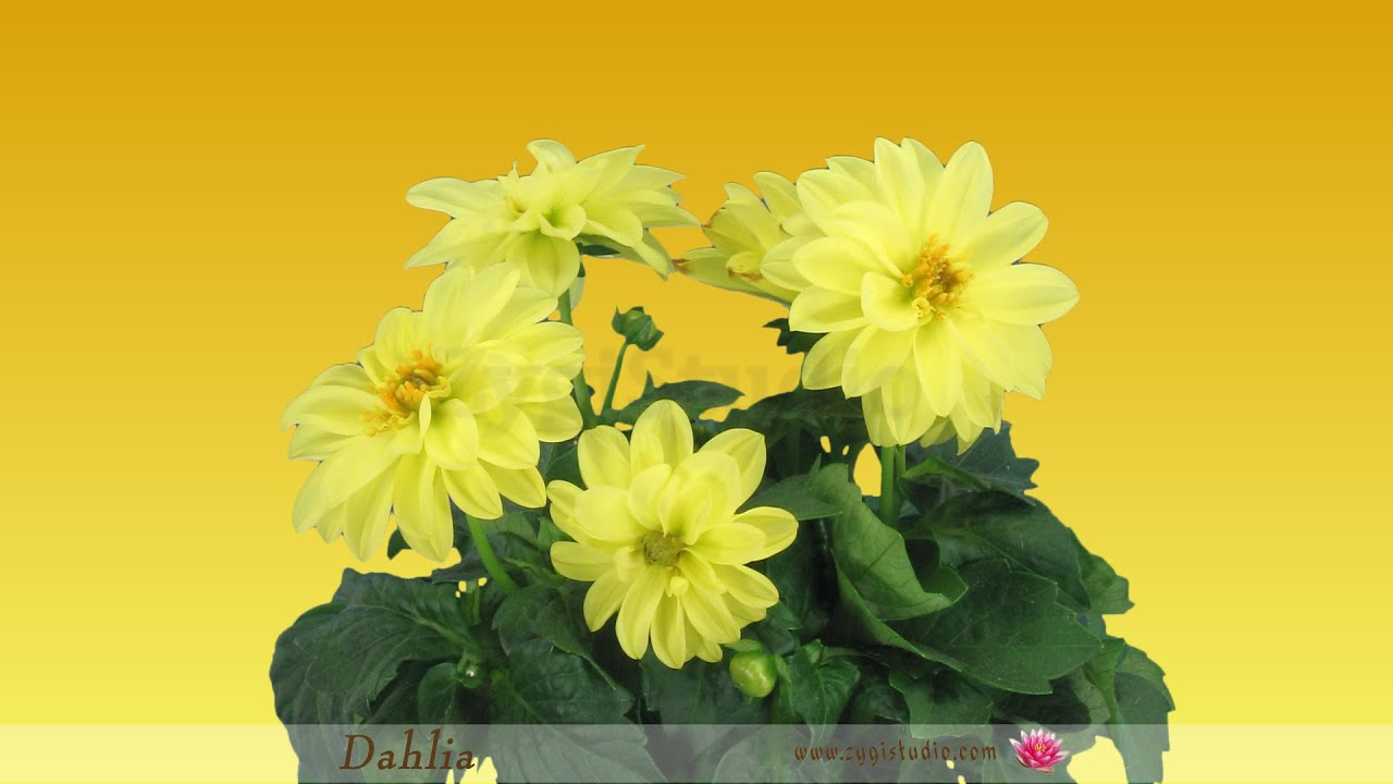 Timelapse of opening yellow dahlia flower youtube timelapse of opening yellow dahlia flower izmirmasajfo
