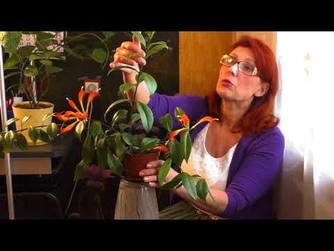 Как ухаживать за цветком эсхинантус