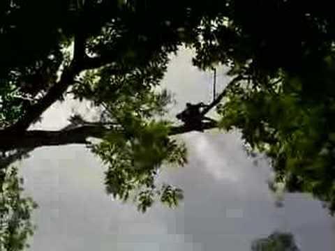 Howler Monkeys at Tikal