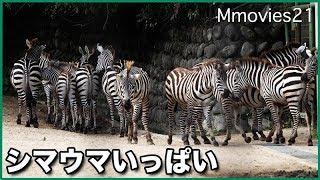 安佐動物公園のグラントシマウマたち。 とても広い場所で、たくさんのシ...