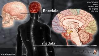 Sistema Nervoso 1 - SNC e Neocórtex