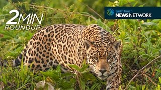 Prince William for wildlife, hitchhiking koalas & jaguars on the hunt