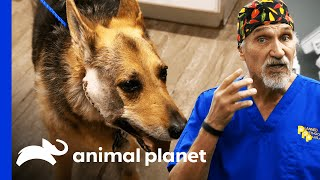 16 Year Old Dog Has Huge Tumor On Her Face | Dr. Jeff: Rocky Mountain Vet