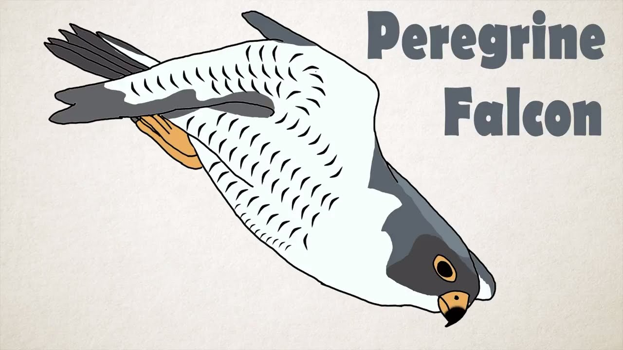 Peregrine Falcon The Fastest Animal In The World