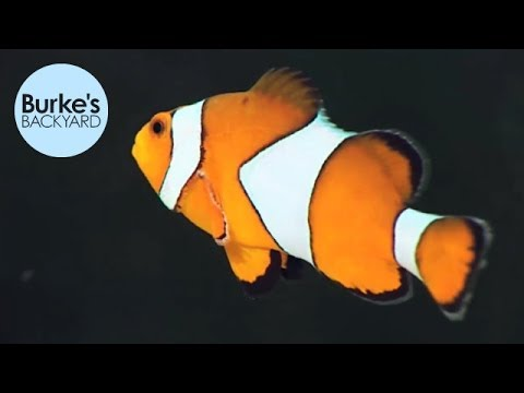 Burke's Backyard, Clown Fish Road Test