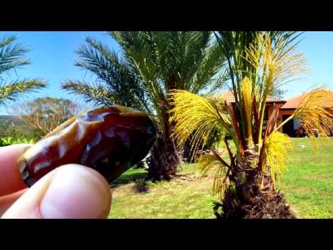 *Plant Medjool Date Palm Trees*  +Phoenix dactylifera+Date Palm+