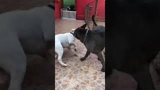 Bull Terrier e American Bully Cães da matilha #dogbydog