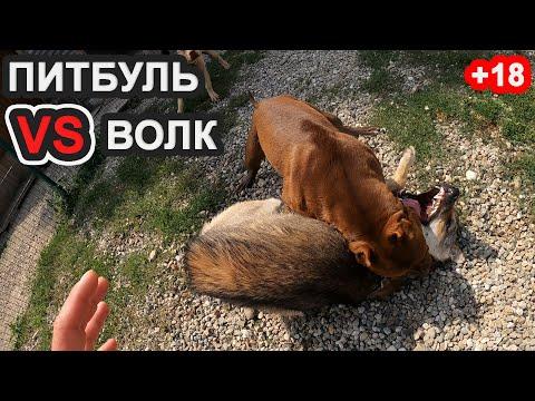 +18 ПИТБУЛЯ ПРОТИВ ВОЛКА. ВОЛК VS ПИТБУЛЬ/ Питбуль Атаковал Волка/Нападение питбуля/драка собак.