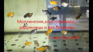 Рыбки-баллоны. Обманчивая красота.