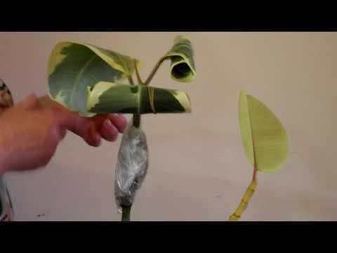 Размножение фикуса каучуконосного