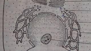 клеточное Ядро. nucleus cellularis. Просто о сложном