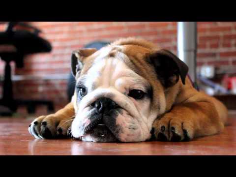 0 O Bulldog que odeia usar coleira