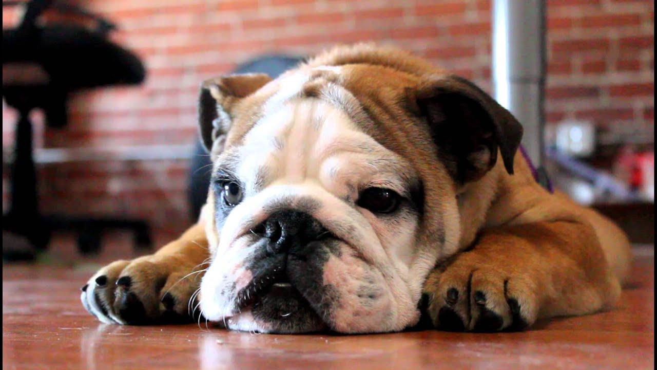 Englsih bulldog