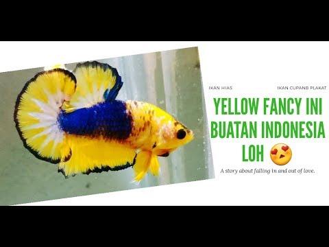 Sedikit Ulasan Ikan Cupang Yellow Fancy Plakatfancy Youtube