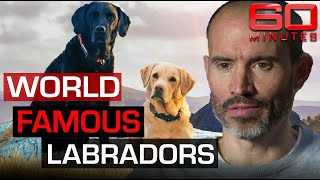 Meet Mabel and Olive: Andrew Cotter's world famous Labradors! | 60 Minutes Australia