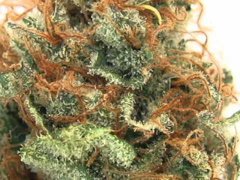 MK Ultra Marijuana Strain from GG Mercantile, Denver, Colorado - YouTube