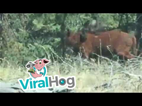 Rare Footage of a Grizzly Bear Attacking a Cow || ViralHog