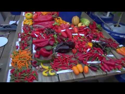 2nd greenhouse pepper harvest 2016