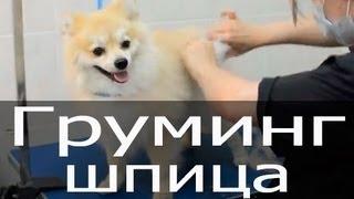 Груминг шпица, стрижка шпица, тримминг шпица, груминг собак