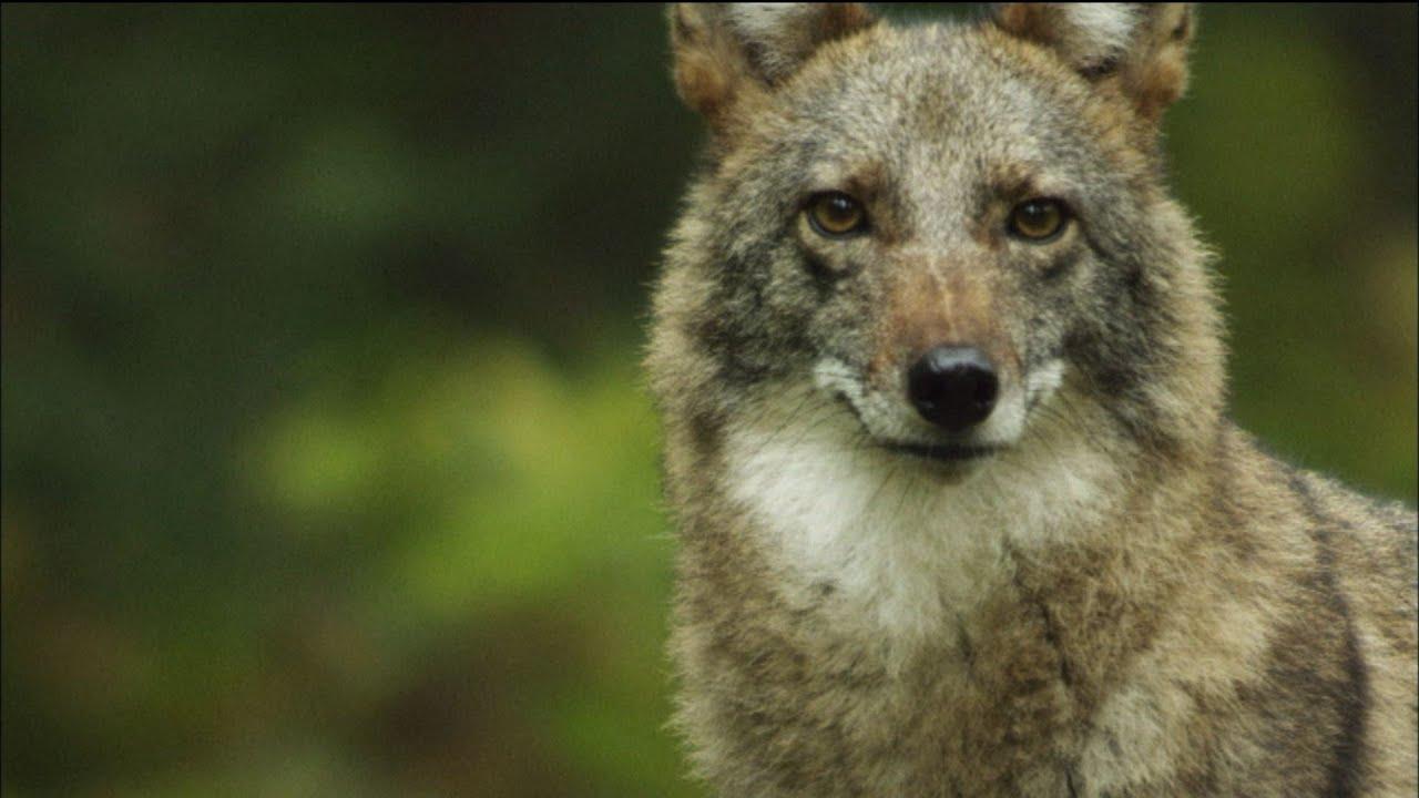 Meet the Coywolf: A New Hybrid Carnivore Roams the City ...