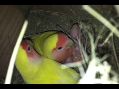 انتاج طيور الحب ريد فيس