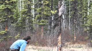 Great Grey Owl Part 3
