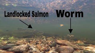 Salmon Attacks Worm GOPRO Footage - Underwater Salmon Fishing
