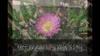 Grow American! - AVOID Ice Plant