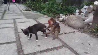 Khỉ troll chó