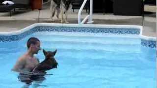 German Shepherd Puppy Swimming First Time