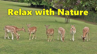Relax with Nature : Beautiful Deer : Relaxing Videos and TV for People, Cats and Dogs