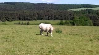 Rencontre avec des vaches d'Aubrac d'Aveyron