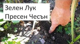 Градинарски съвети за зелен Лук и пресен Чесън
