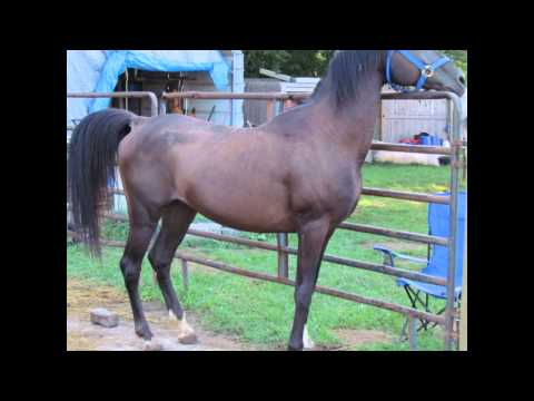 Rescue Arabian Horses from Gray Mare Farms Indiana
