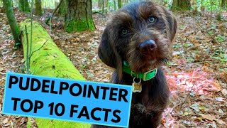 Pudelpointer  TOP 10 Interesting Facts