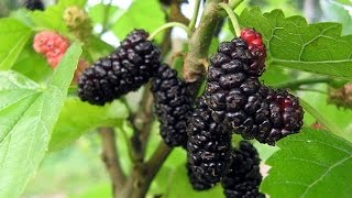How to prune a Mulberry tree in the Top End- Online Plants NT