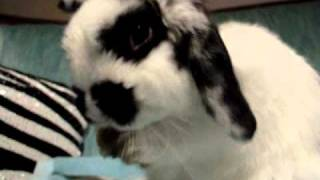 Day in the life of Miffy bunny (Holland Lop)