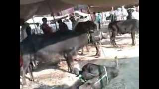 Dadri Mela is the oldest Animal Mela of the world