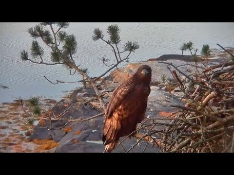 Smola Norway Eagles Nest Cam ~ Welcome Home Solo ~ Beautiful Closeups 10.2.17