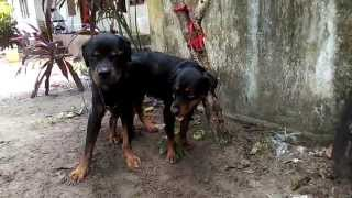 Rottweiler studying in Kerala
