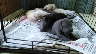 Bulldog And Shar Pei Mix Puppies