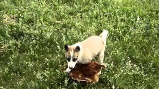 щенок Западно Сибирской лайки первая охота)