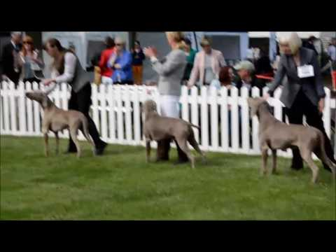 Weimaraners @ Three Counties Championship Dog Show (Classic theme)