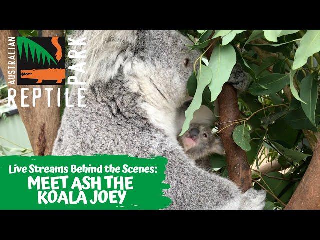 LIVE: MEET ASH THE KOALA! | The Australian Reptile Park
