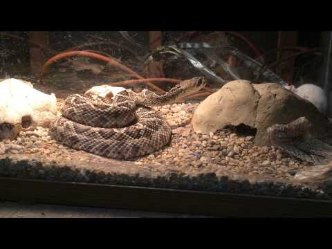 Eastern diamond back rattle snake (Crotalus adamanteus)