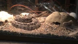 Eastern diamond back rattle snake (Crotalus adamanteus)