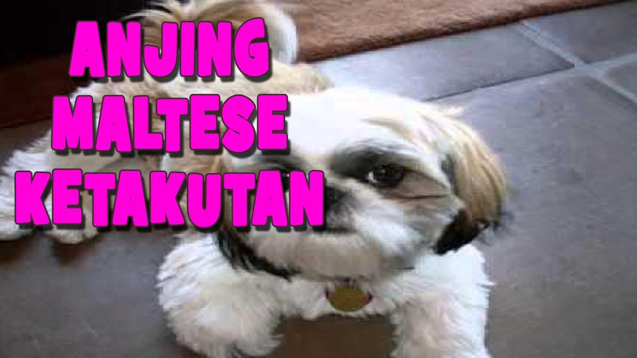 Anjing Maltese Vs Anjing Shih Tzu A Tribute To My Dog Kimmy Youtube