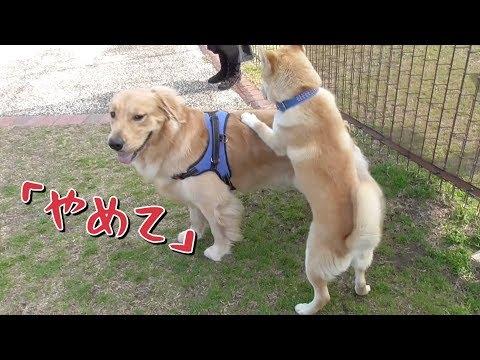 柴犬コタローの前ではメス扱いされるゴールデンレトリバーベンツ。