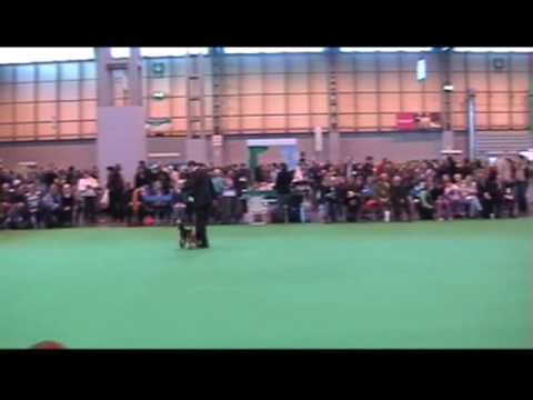 Crufts 2009, Welsh Terrier - Best puppy in breed