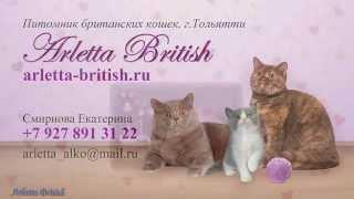 """Британские кошки. Британские котята. Продажа британских котят. Питомник  """"Arletta British""""."""